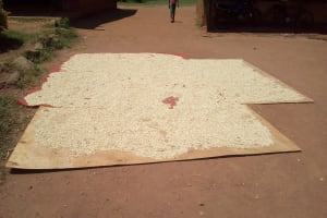 The Water Project: Bushili Primary School -  Maize Drying At School
