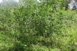 The Water Project: Masera Community, Salim Hassan Spring -  Cassava Farm