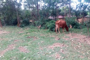 The Water Project: Masera Community, Ernest Mumbo Spring -  Cow Grazing