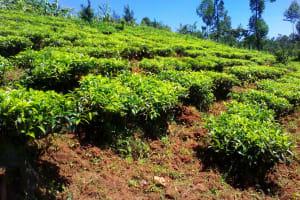 The Water Project: Lwangele Community, Machayo Spring -  Tea Plantation