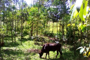 The Water Project: Musutsu Community, Mwashi Spring -  A Cow Grazing