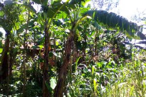 The Water Project: Musutsu Community, Mwashi Spring -  Banana Trees