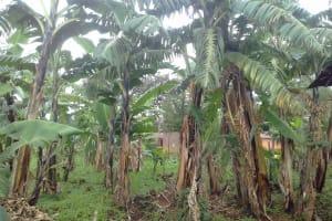 The Water Project: Musutsu Community, Mwashi Spring -  Banana Plantation