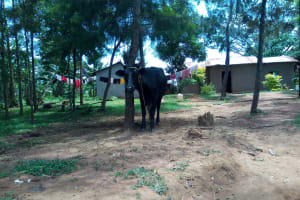 The Water Project: Chegulo Community, Yeni Spring -  A Cow Grazing At An Open Compound