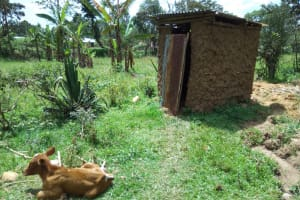 The Water Project: Muyundi Community, Ngalame Spring -  Cow Sits Outside Of Latrine