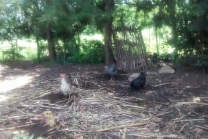 The Water Project: Ewamakhumbi Community, Yanga Spring -  Chickens