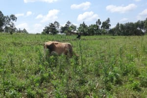 The Water Project: Ematetie Community, Weku Spring -  A Cow Grazes At An Open Field