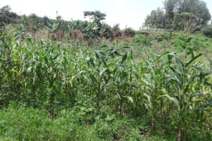 The Water Project: Ematetie Community, Weku Spring -  Maize Plantation