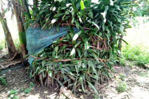 The Water Project: Ematetie Community, Chibusia Spring -  A Bathroom Made From Growing Bushes