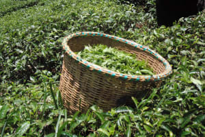 The Water Project: Chepnonochi Community, Chepnonochi Spring -  Tea Leaves Fresh From Being Harvested