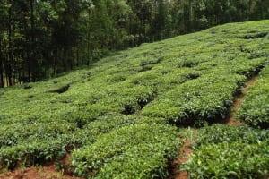 The Water Project: Chepnonochi Community, Chepnonochi Spring -  Tea Plantation