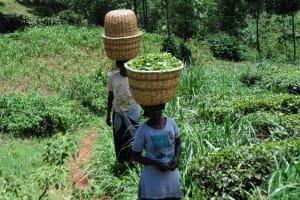 The Water Project: Chepnonochi Community, Chepnonochi Spring -  Women Carry Harvested Tea Leaves