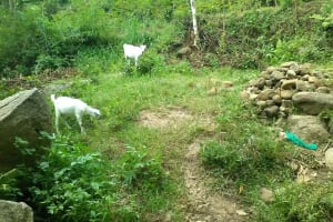 The Water Project: Shitoto Community, Mashirobe Spring -  Goats Grazing