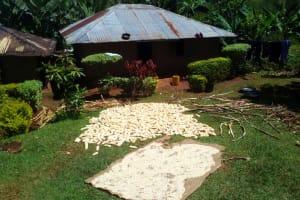 The Water Project: Upper Visiru Community, Wambosani Spring -  Maize Drying