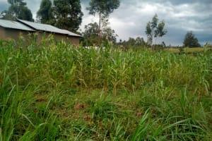The Water Project: Elutali Community, Obati Spring -  A Maize Farm