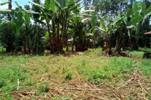The Water Project: Elutali Community, Obati Spring -  Banana Plantation