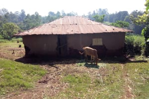 The Water Project: Irumbi Community, Shatsala Spring -  Cow In Front Of Home