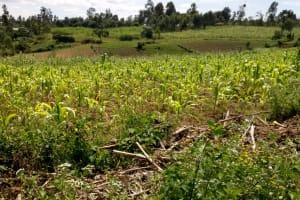 The Water Project: Shirakala Community, Ambani Spring -  Kenya Community Farm