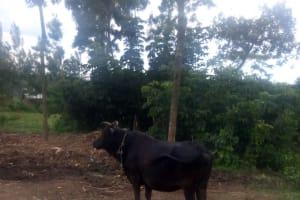 The Water Project: Nambatsa Community, Odera Spring -  Cow