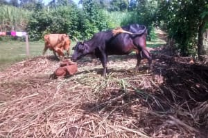 The Water Project: Musiachi Community, Thomas Spring -  Cows In Homestead