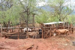 The Water Project: Kaliani Community -  Cattle Pen