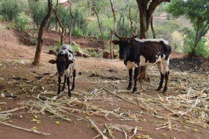 The Water Project: Masaani Community A -  Cattle