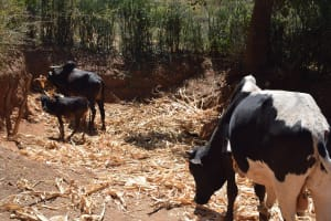 The Water Project: Ilinge Community E -  Cattle
