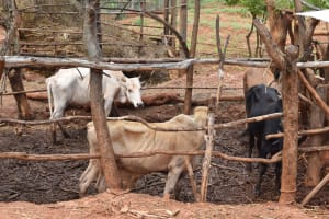 The Water Project: Kaliani Community A -  Cattle Pen