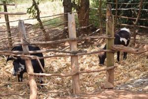 The Water Project: Mitini Community C -  Animals