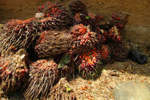 The Water Project: Roloko Community -  Fruit From Palm Trees