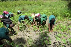 The Water Project: DEC Komrabai Primary School -  Students Weeding In School Garden