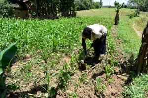 The Water Project: Mungakha Community, Asena Spring -  Rose Amabani Working On Her Farm