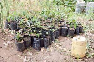 The Water Project: Muselele Community A -  Tree Saplings