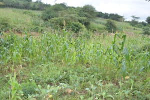 The Water Project: Ngaa Community A -  Maize Growing
