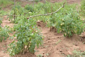 The Water Project: Ikulya Community -  Crops Growing