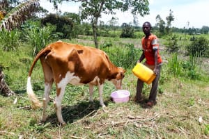 The Water Project: Luyeshe Community, Matolo Spring -  Man Watering His Cow