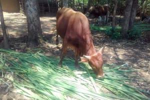 The Water Project: Mwichina Community, Matanyi Spring -  Cow