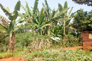 The Water Project: Sichinji Community, Makhatse Spring -  Banana Farming