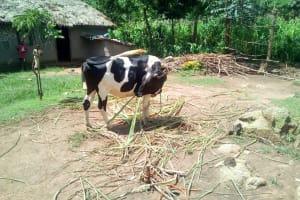 The Water Project: Mukangu Community, Lihungu Spring -  Cow Grazing