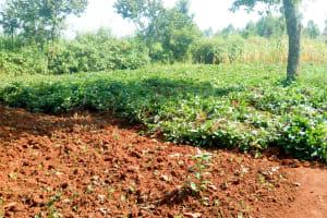 The Water Project: Sichinji Community, Makhatse Spring -  Sweet Potato Farm