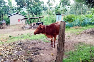 The Water Project: Bukhakunga Community, Khayati Spring -  Family Cow Grazing
