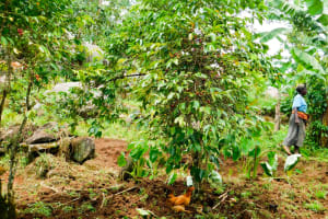 The Water Project: Ngeny Barak Community, Ngeny Barak Spring -  Coffee Tree