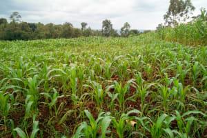 The Water Project: Mukangu Community, Lihungu Spring -  Community Farm