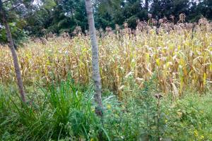 The Water Project: Shitsuvio Community, Shihevi Spring -  Maize Farm