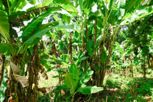The Water Project: Ngeny Barak Community, Ngeny Barak Spring -  Banana Trees
