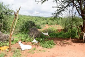 The Water Project: Kithoni Community A -  Family Goats