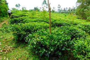 The Water Project: Wajumba Community, Wajumba Spring -  Tea Plantation