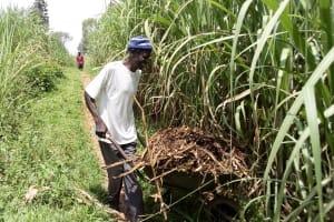 The Water Project: Musango Community, Mwichinga Spring -  Sugarcane Farming