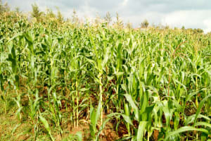 The Water Project:  Maize Farm Nearby