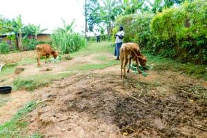 The Water Project: Wajumba Community, Wajumba Spring -  Cows Grazing In Community